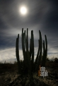USA_AZ_Organ pipe cactus (02)
