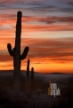 USA_AZ_Organ pipe cactus (05)