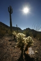 USA_AZ_Organ pipe cactus (01)