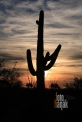 USA_AZ_Organ pipe cactus (04)